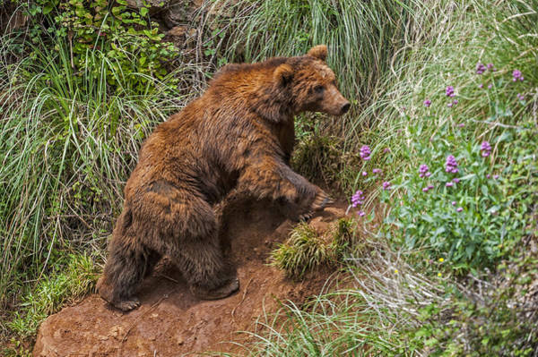 Photograph - Eurasian Brown Bear 21 by Arterra Picture Library