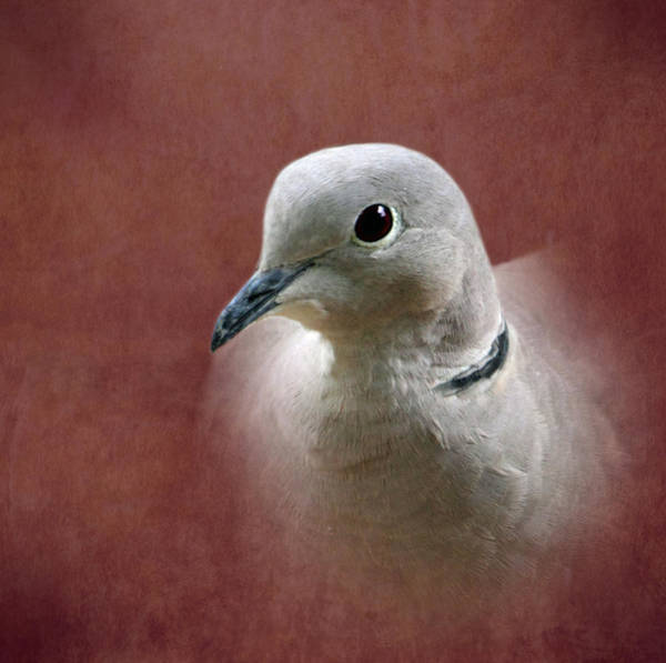 Vogel Photograph - Eurasian Collard Dove by Angie Vogel