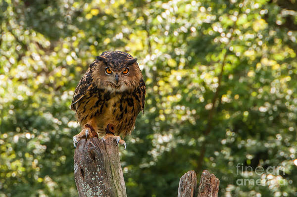 Photograph - Eurasian Eagle Owl by Anthony Sacco