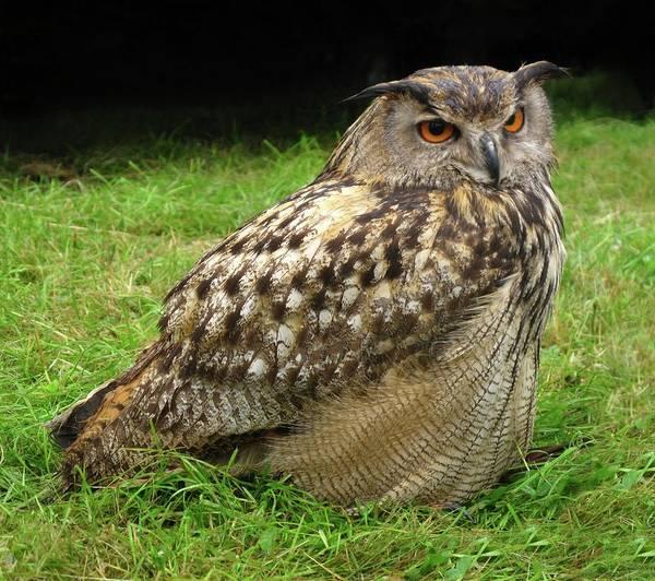 Ave Photograph - Eurasian Eagle-owl by Cordelia Molloy