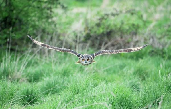 Eagle In Flight Photograph - Eurasian Eagle-owl by Dr P. Marazzi/science Photo Library