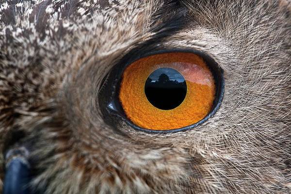 Wall Art - Photograph - Eurasian Eagle-owl Eye by Linda Wright/science Photo Library