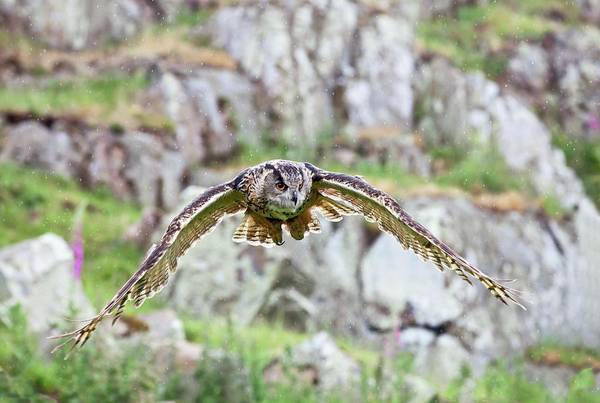 Eagle In Flight Photograph - Eurasian Eagle-owl In Flight by John Devries/science Photo Library