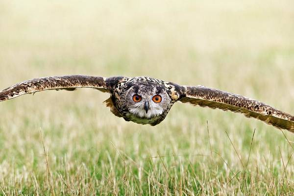 Owl In Flight Photograph - Eurasian Eagle-owl In Flight by Linda Wright/science Photo Library