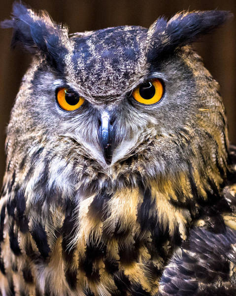 Photograph - Eurasian Eagle-owl by Robert L Jackson