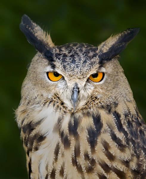 Photograph - Eurasian Eagle Owl by Susan Candelario