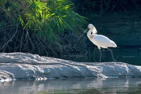 Courtship Photograph - Eurasian Spoonbill Breeding Plumage by K Jayaram