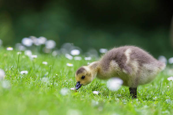 Photograph - Europe, Germany, Bavaria, Canada Goose by Westend61