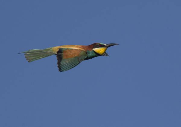 European Bee-eater Art Print