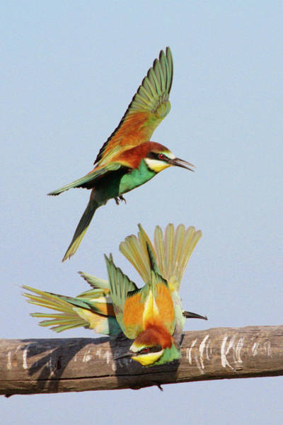 Courtship Display Photograph - European Bee-eaters by Manuel Presti/science Photo Library