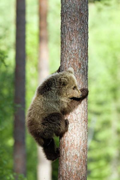 Agile Photograph - European Brown Bear Cub by John Devries/science Photo Library