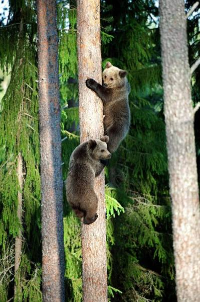 Finnish Photograph - European Brown Bear Cubs by Dr P. Marazzi/science Photo Library