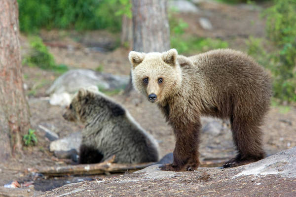Finnish Photograph - European Brown Bear Cubs by John Devries/science Photo Library