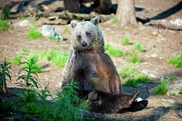 Finnish Photograph - European Brown Bear by Dr P. Marazzi/science Photo Library