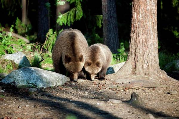 Finnish Photograph - European Brown Bear Mother And Cub by Dr P. Marazzi/science Photo Library
