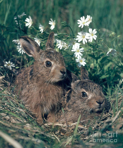 Photograph - European Brown Hares by Hans Reinhard