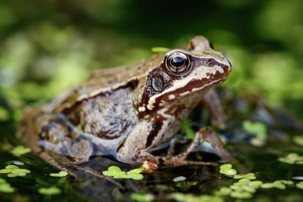 Heath Photograph - European Common Frog by Heath Mcdonald/science Photo Library