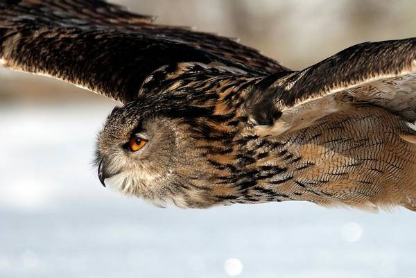Eagle In Flight Photograph - European Eagle Owl In Flight by Annie Haycock/science Photo Library
