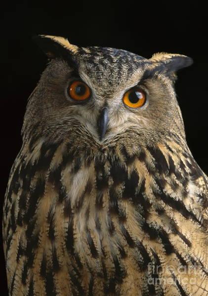 Photograph - European Eagle Owl by Stephen Dalton