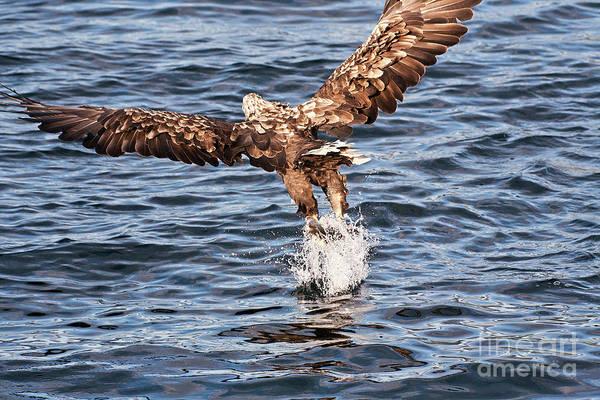 Faunal Photograph - European Fishing Sea Eagle 2 by Heiko Koehrer-Wagner