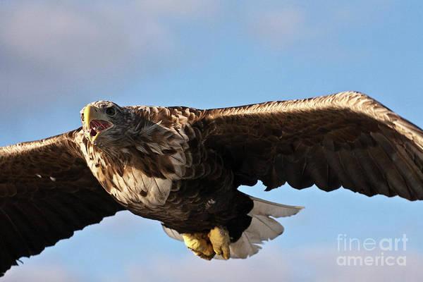 Faunal Photograph - European Flying Sea Eagle 1 by Heiko Koehrer-Wagner