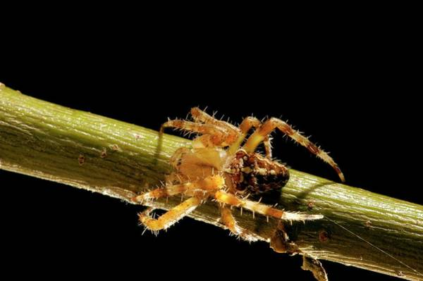 Orb Weaver Photograph - European Garden Spider by Thierry Berrod, Mona Lisa Production/ Science Photo Library