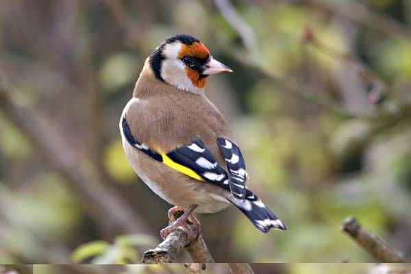 Wildbird Photograph - European Goldfinch (carduelis Carduelis) by Science Photo Library