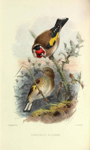 Passeriformes Photograph - European Goldfinch by Natural History Museum, London