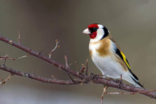 Finch Photograph - European Goldfinch  by Torbjorn Swenelius