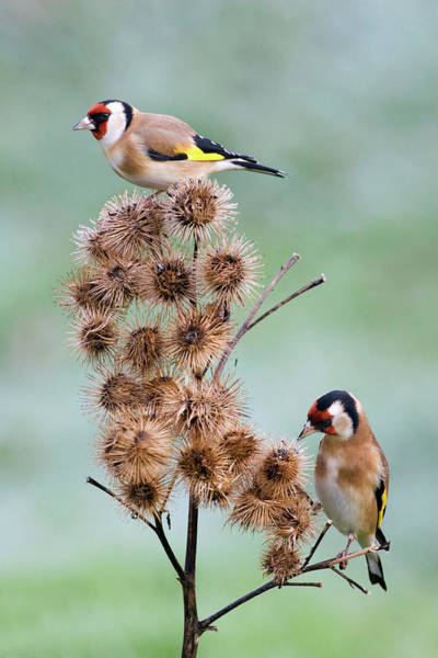 Goldfinch Photograph - European Goldfinches by John Devries/science Photo Library