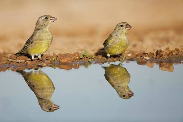Migratory Birds Photograph - European Greenfinch (carduelis Chloris) by Photostock-israel