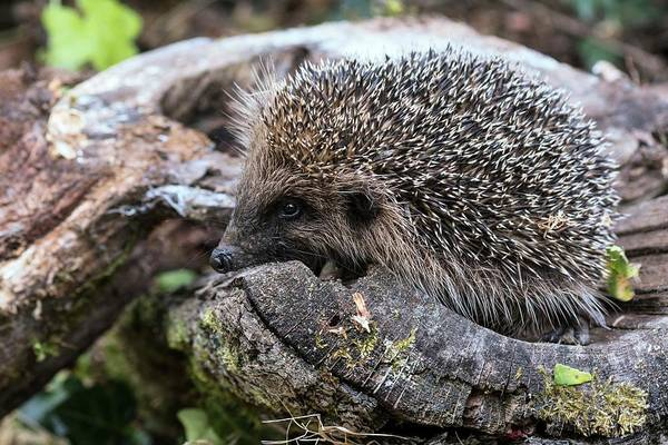 Hedgehog Photograph - European Hedgehog by Brian Gadsby/science Photo Library