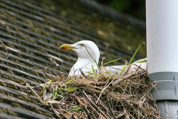 Toilet Photograph - European Herring Gull Nesting by Adrian Thomas/science Photo Library