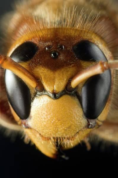 Hornet Photograph - European Hornet by Dr Jeremy Burgess