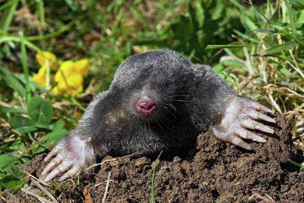 Subterranean Photograph - European Mole Emerging From Its Burrow by John Devries/science Photo Library