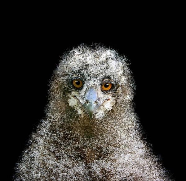 Screech Owl Photograph - European Owl Chick by Linda Wright
