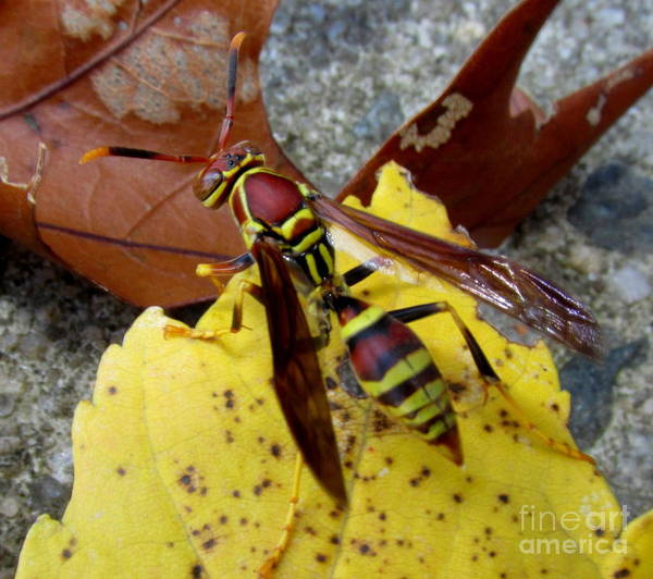 European Hornet Photograph - European Paper Wasp by Joshua Bales