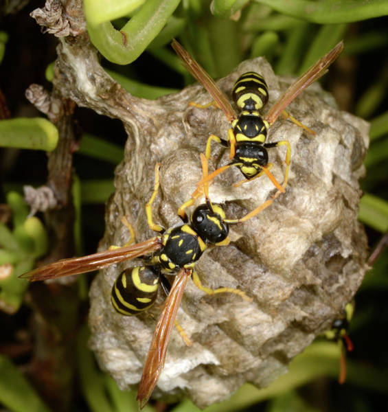 Pollinator Wall Art - Photograph - European Paper Wasps And Nest by Nigel Downer