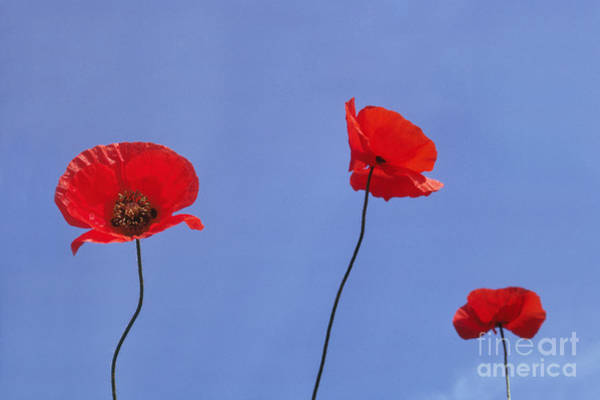 Photograph - European Poppies by Frans Lanting MINT Images