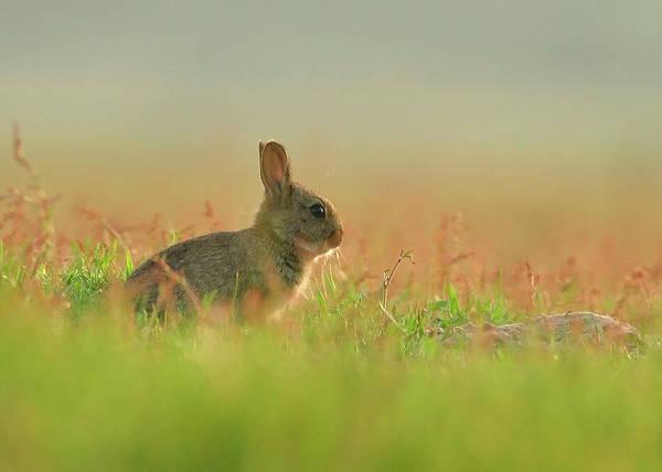 Scheveningen Photograph - European Rabbit Baby by Wouter Marck Wildlife Photography