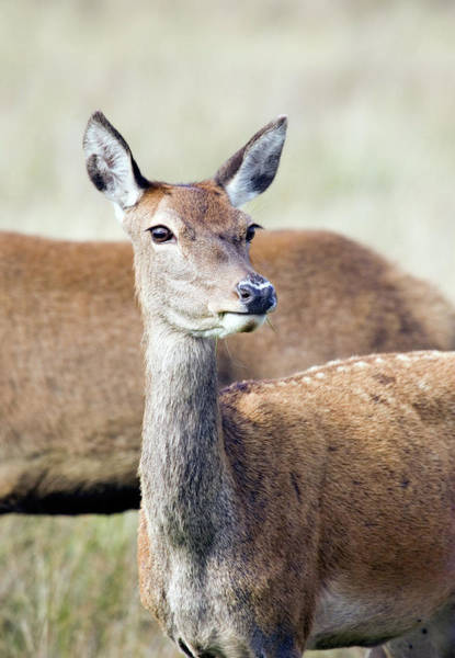 Wall Art - Photograph - European Red Deer Doe by John Devries/science Photo Library