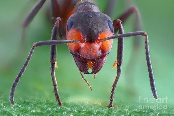 Photograph - European Red Wood Ant by Matthias Lenke