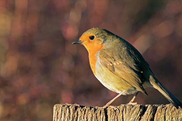Perky Photograph - European Robin by Anthony Cooper/science Photo Library