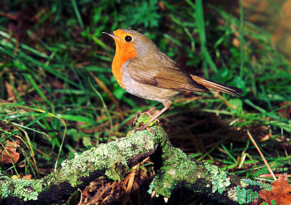 European Robin Photograph - European Robin by Brian Gadsby/science Photo Library