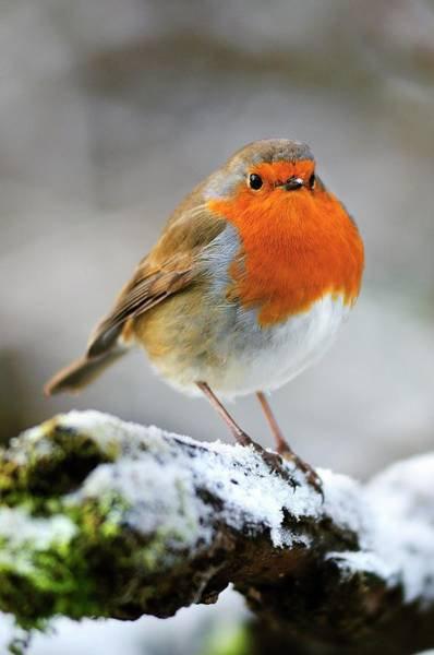 European Robin Photograph - European Robin by Colin Varndell/science Photo Library