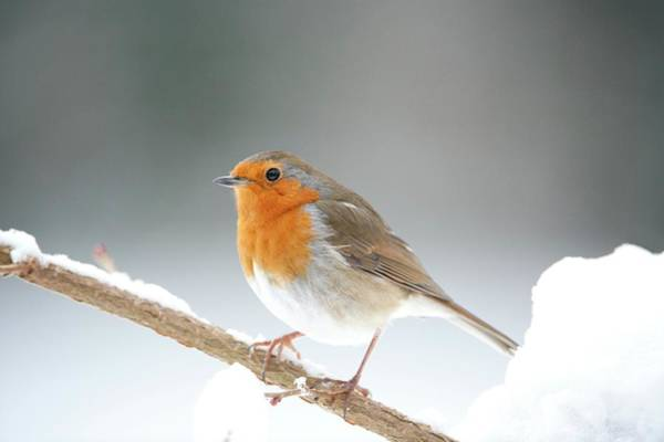 Galloway Wall Art - Photograph - European Robin by Dr P. Marazzi/science Photo Library