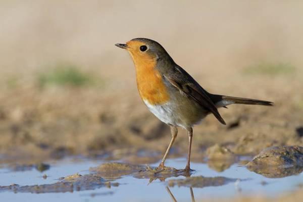 European Robin Photograph - European Robin (erithacus Rubecula) by Photostock-israel