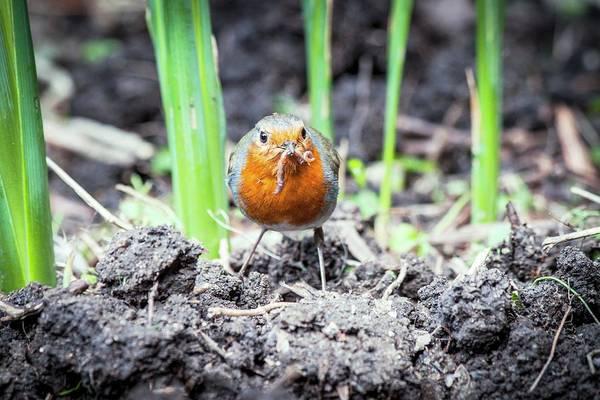 European Robin Photograph - European Robin Feeding by Paul Williams
