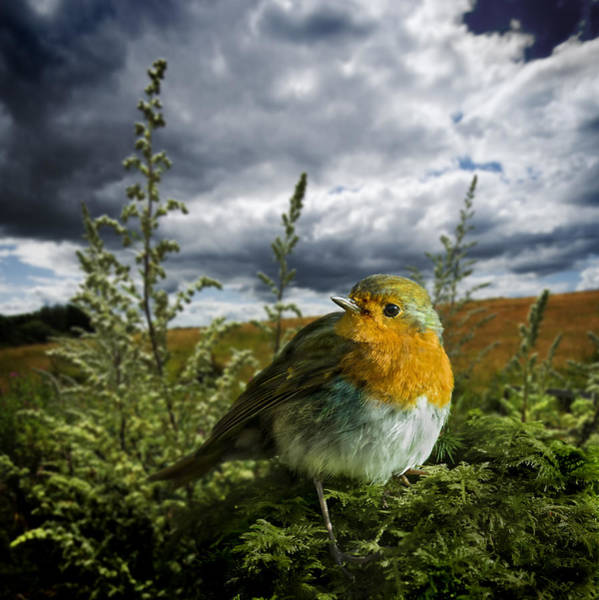 Photograph - European Robin On Moss by Meirion Matthias
