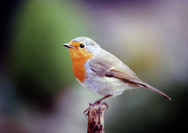 Red Robin Photograph - European Robin Red Breast by Anthony Cooper/science Photo Library